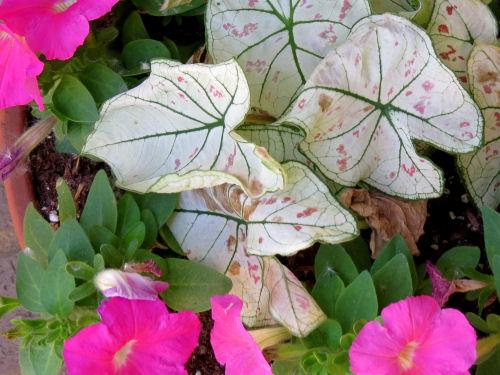 spotted caladium