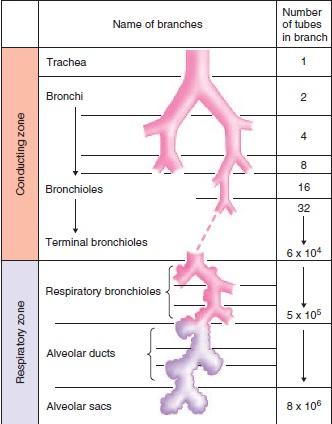 Science, Natural Phenomena & Medicine: Bronchiole