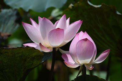 kamal-ka-phool ॥ Lotus flower