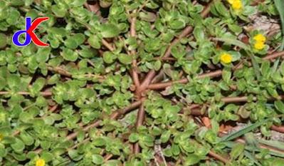 Tanaman herbal – Memanfaatkan pekarangan rumah | Bagian 1