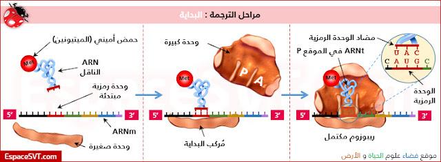 تعرف من خلال الوثيقة أعلاه، على بنية العناصر المتدخلة خلال عملية تركيب البروتينات.