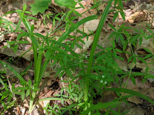small bedstraw