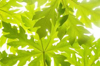 6 Khasiat Daun Pepaya Sebagai Tanaman Herbal