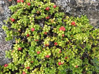 Airelle vigne d'Ida - Vaccinium vitis-idaea - Airelle du mont Ida - Airelle rouge