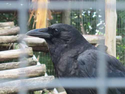 Soper Creek Wildlife Rescue Crow.