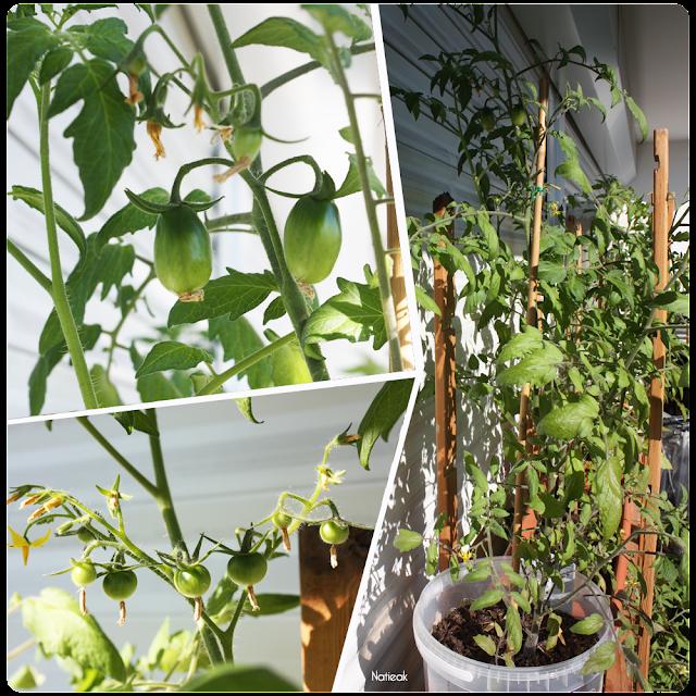 variétés de tomates  cerise et cocktails sur le balcon