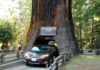 Pat Dunlap Driving Through Chandelier Tree Toyota Venza Leggett California