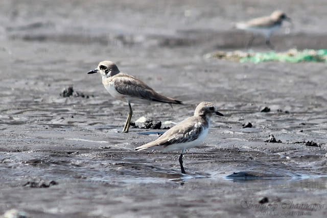 Greater (left) and Lesser Sand Plovers - notice the longer bill, and longer and yellow-greenish legs of the Greater Sand Plovers over the Lesser Sand Plovers