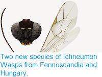 http://sciencythoughts.blogspot.co.uk/2015/01/two-new-species-of-ichneumon-wasps-from.html