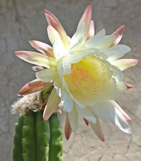Flower of the San Pedro cactus