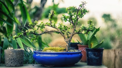 Grow a bonsai tree from a seed