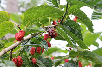 are mulberries poisonous to dogs, are mulberries bad for dogs, are mulberries toxic to dogs