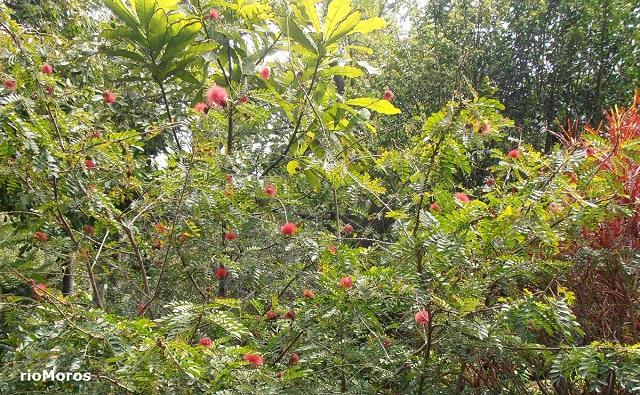 Caliandra rosa Calliandra haematocephala