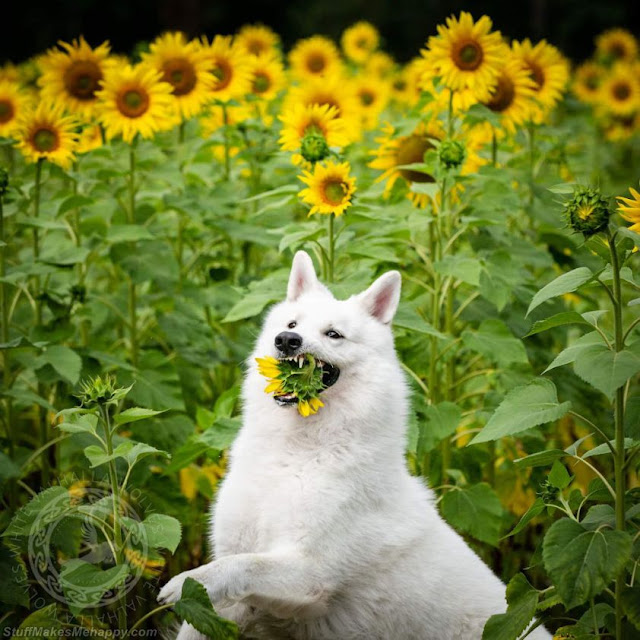 Dogs Sunflowers Pictures Images, Dogs in Sunflowers