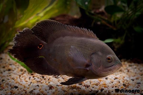 Ikan Oscar Hitam