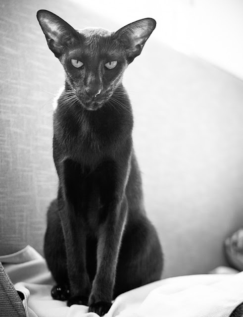 Picture of black leggy and slender Oriental Shorthair