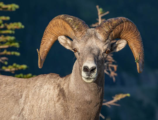 Bighorn sheep ram at Logan Pass