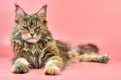 Jenis Ras Kucing Mainecoon