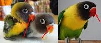 beda lovebird anakan dan dewasa