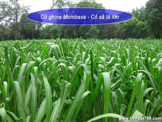 Hạt giống cỏ ghine mombasa - cỏ sả lá lớn