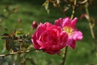 Roses (Roserar del Parc de Cervantes) per Teresa Grau Ros