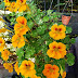 How to Grow Nasturtiums from seeds