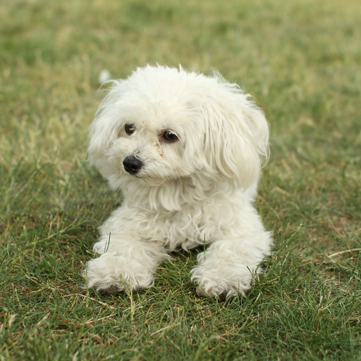maltese toy poodle mix unnamed maltese toy poodle mix 3472