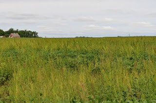 waterhemp in soybean field
