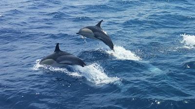 Gemeiner Delfin © Kristina Jurgawka