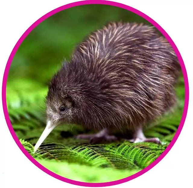 Another small animal is the only mammal from 7 New Zealand indicator species: short-tailed bat. These endemic species are now endangered and threatened by incoming predators, therefore the Kiwi conservation department gives significant importance to the monitoring of their indicator species.