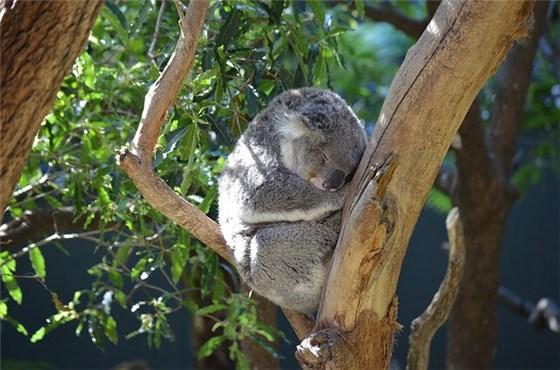 シドニーの動物園で子供に人気のコアラが木の上で寝ている写真