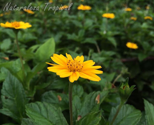 Floración característica de las plantas del género Wedelia