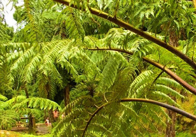 Contoh Gerak Higroskopis: Membukanya Sporangium Paku