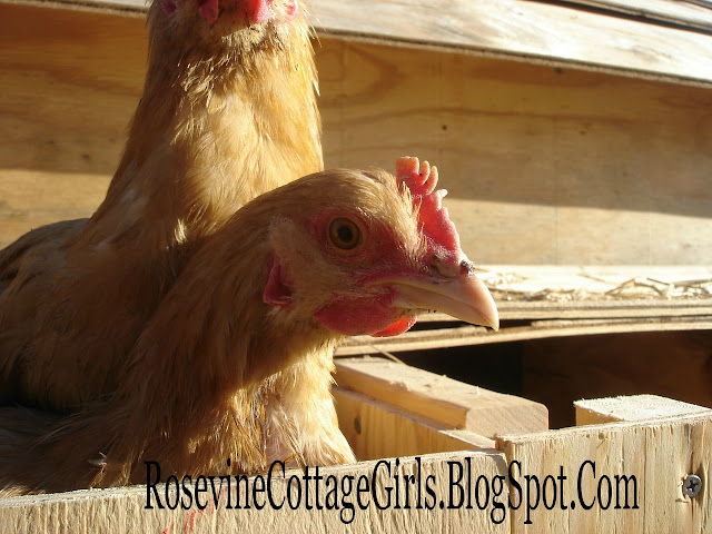 Two orange chickens peeking their heads out of a nesting box | Looking Back | rosevinecottagegirls.com