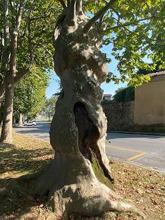 The London Plane tree called Plà on Via della Fara.