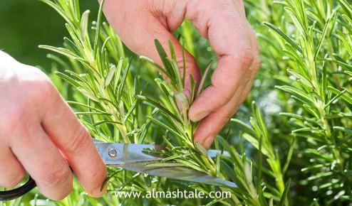 زراعة وإكثار الروزماري Rosemary