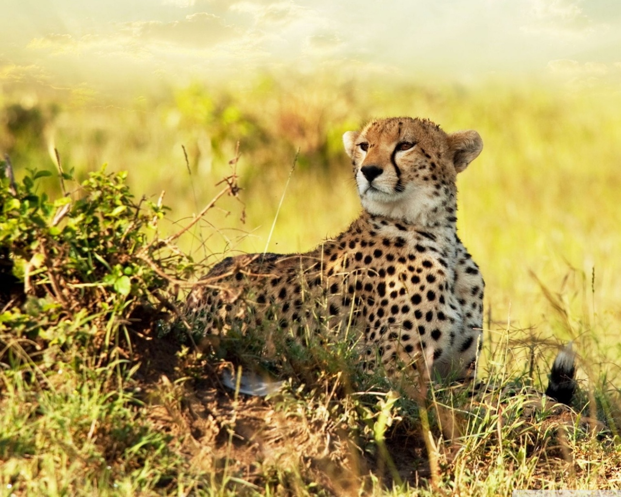 All About Animal Wildlife: Cheetah Cool HD Wallpapers 2012