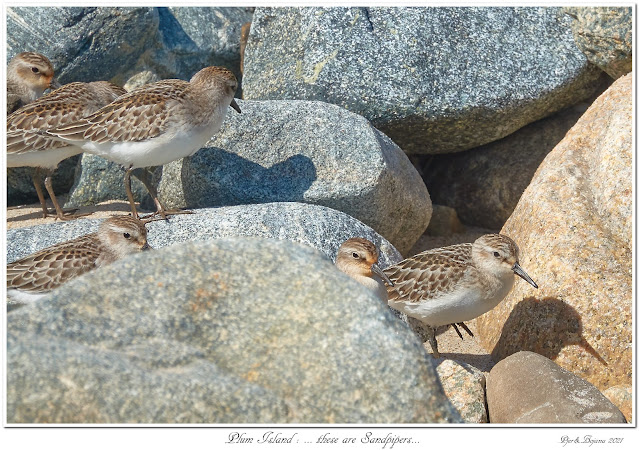 Plum Island: ... these are Sandpipers...
