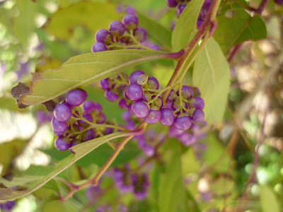 Little purple berries on a plant in the Nunobiki Herb Gardens, Kobe