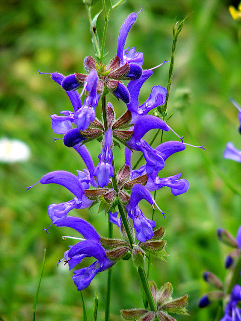 Meadow Clary Salvia pratensis. Indre et Loire. France. Photo by Susan Walter.