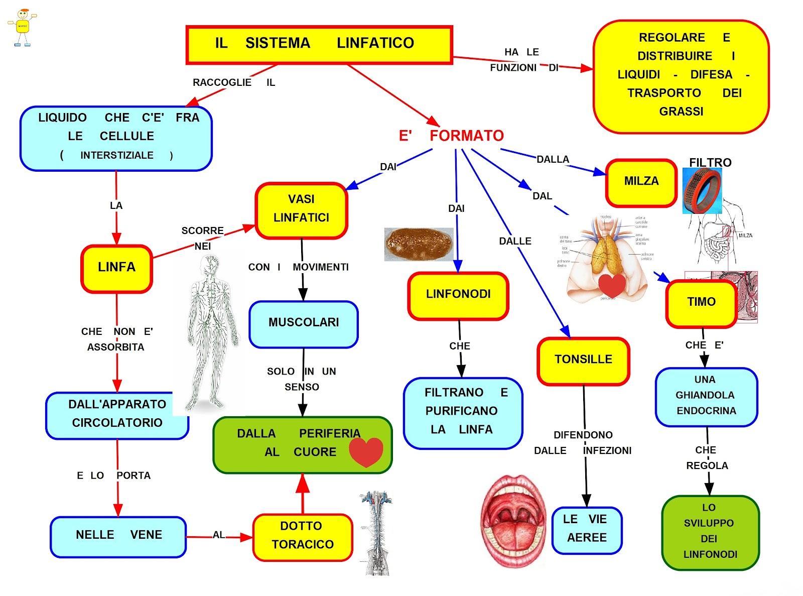 Sistema Dali Schemi Elettrici : Mappa concettuale sistema linfatico scuolissima
