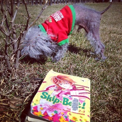 Murchie sniffs a bush planted on green grass. He wears a red t-shirt with green trim. In front of him is a trade paperback copy of the first Skip Beat omnibus. Its cover features a Japanese girl with short chestnut hair. She wears a frilly pink outfit and punches towards the viewer.