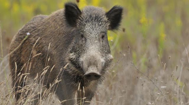 Rüyada domuz görmek ne demek? Rüyada domuz görmenin anlamı nedir? rüyada domuz eti yemek, domuz öldürmek rüyalarının manaları.