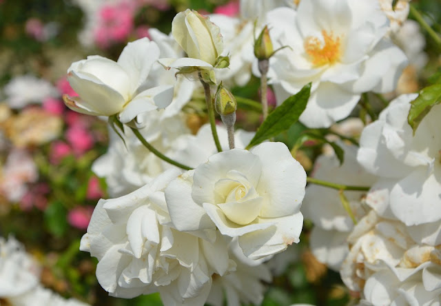 white-roses-images-free-download