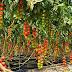 OMG! एक पौधे में फलेगा 19 किलो टमाटर, 150 दिनों में तैयार होगी फसल