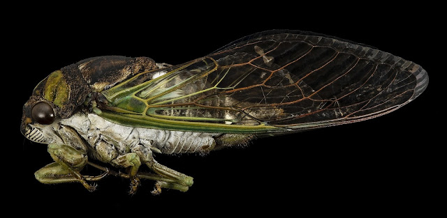 Cicada against black background. Image by skeeze from Pixabay