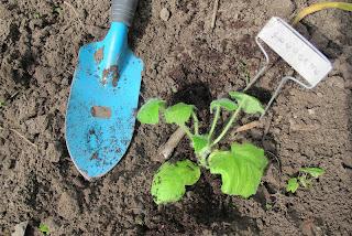 In mijn tuin: hoe zou het met mijn zaaisels zijn deel IV, ofwel : eten in zicht en wat tips