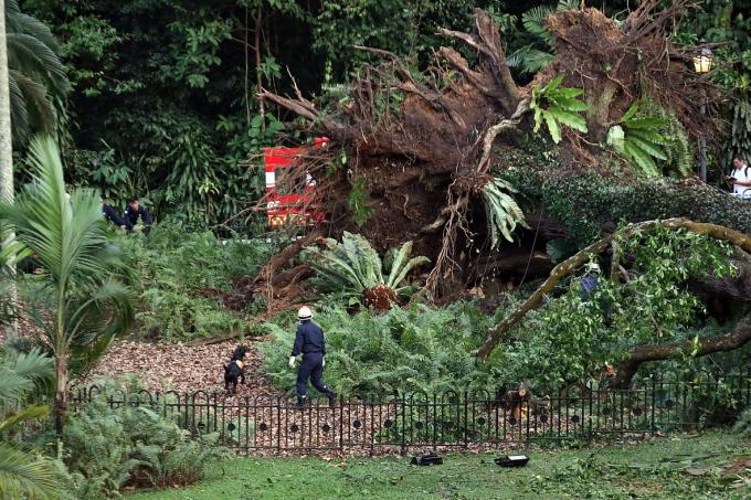 National Parks Board, which manages the Singapore Botanic Gardens, said it is investigating why the tree fell.