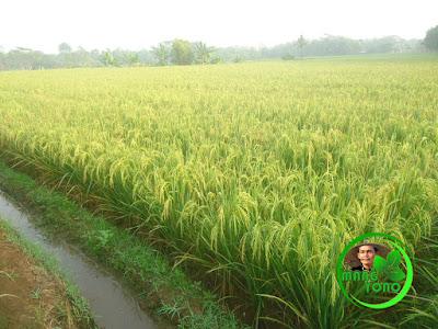 FOTO : Tanaman padi admin di Subang, Bawa Barat