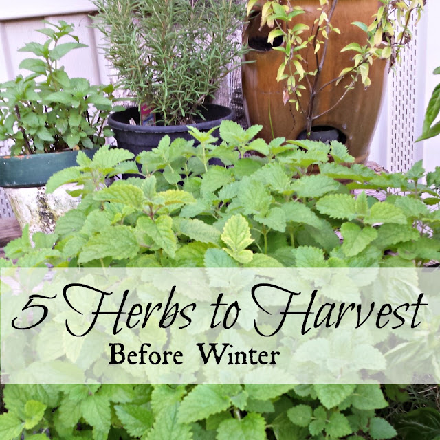Five herbs to harvest before the first frost.
